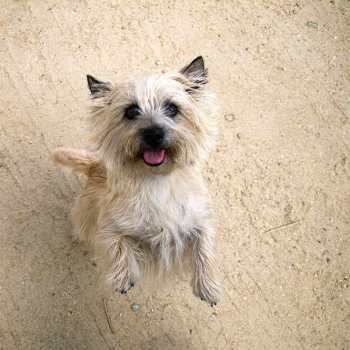 Cairn Terrier Personality