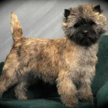 Cairn Terrier Puppies California