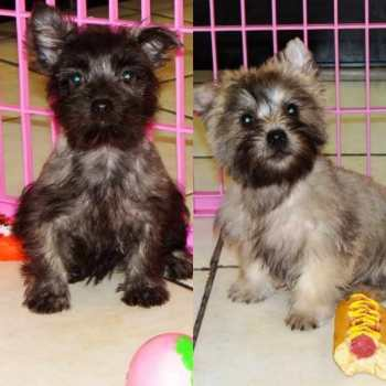 Cairn Terrier Puppies For Sale In Florida