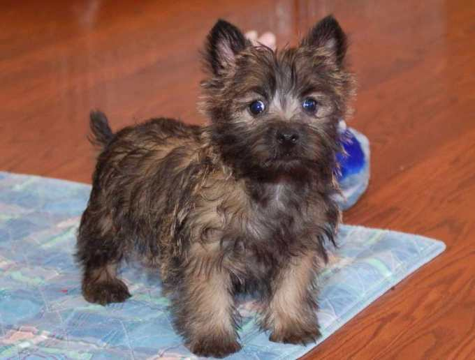 Cairn Terrier Puppies For Sale In Ohio