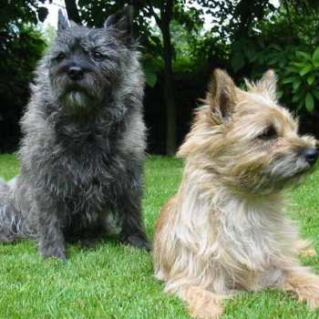 Cairn Terrier Puppies For Sale In Texas
