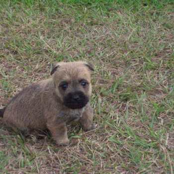 Cairn Terrier Puppies Nc