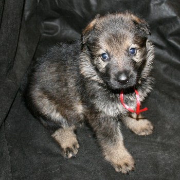 California German Shepherd Puppies For Sale