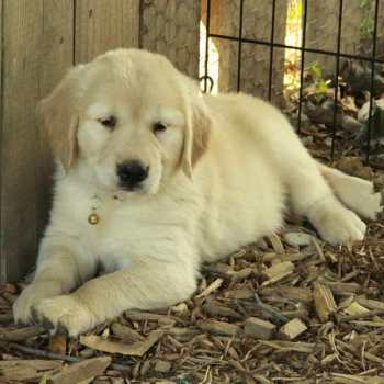 Canada Golden Retriever Puppy
