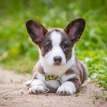 Cardigan Corgi Puppies