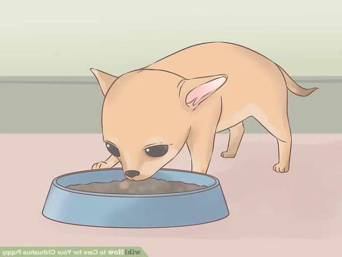 Caring For A Chihuahua