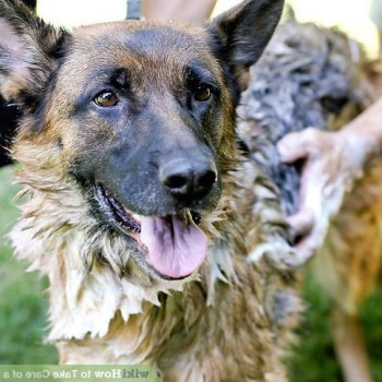 Caring For A German Shepherd