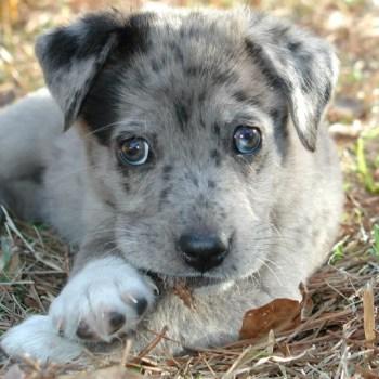 Catahoula Australian Shepherd Mix Puppies For Sale