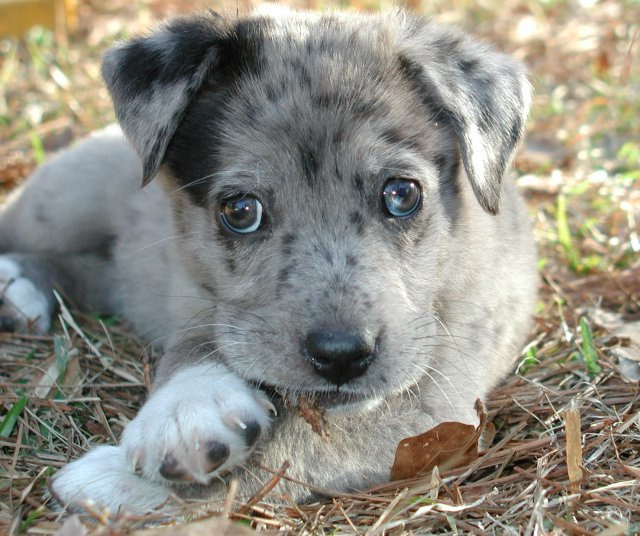 Catahoula Australian Shepherd Mix Puppies For Sale