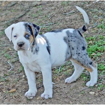 Catahoula Bulldog For Sale