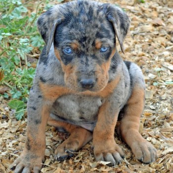 Catahoula Cur Puppies For Sale