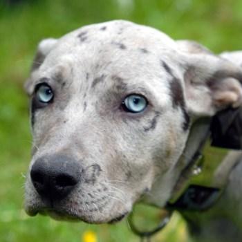 Catahoula Dog Temperament