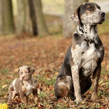 Catahoula Leopard Dog Behavior