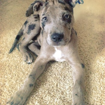 Catahoula Pitbull Mix Puppies For Sale