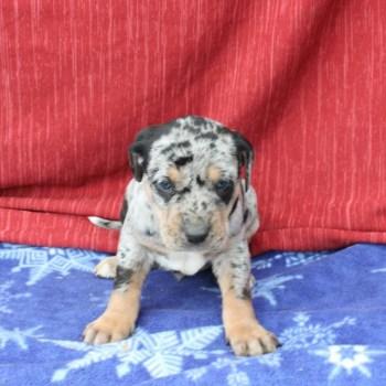 Catahoula Puppies For Sale Craigslist