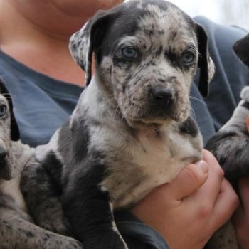 Catahoula Puppies For Sale In Georgia