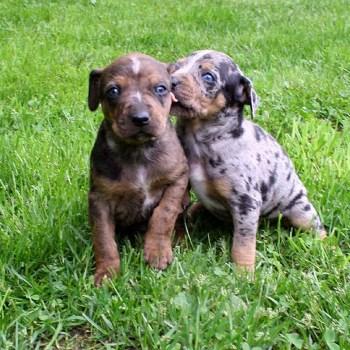 Catahoula Puppies Near Me