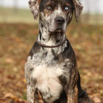 Catahoula Puppy Training