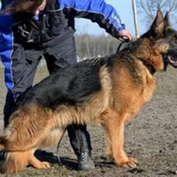 Champion Bloodline German Shepherd