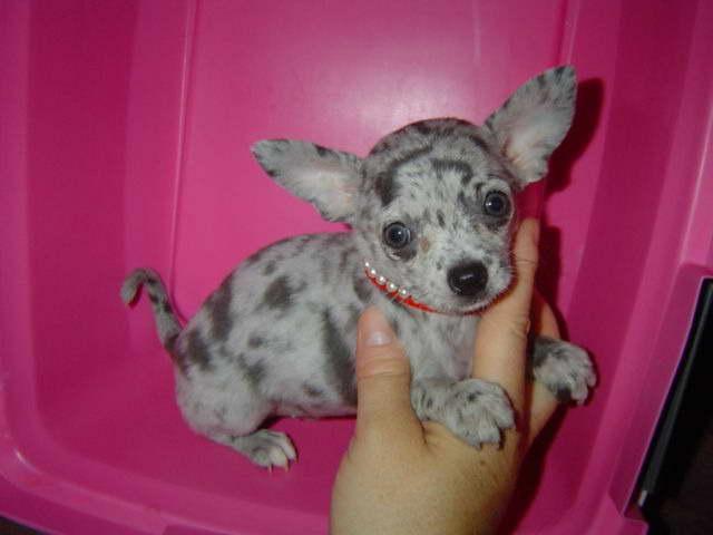 Champion Chihuahua Breeders