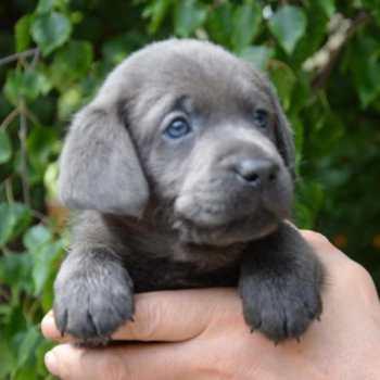 Charcoal Labrador Retriever