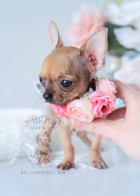 Chihuahua Adoption Florida