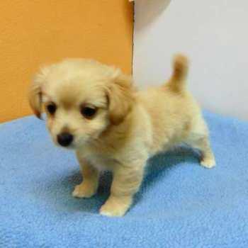 Chihuahua Adoption Los Angeles