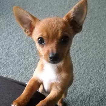 Chihuahua And Jack Russell