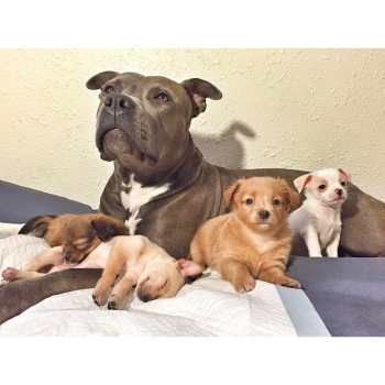 Chihuahua And Pitbull Mix Puppies