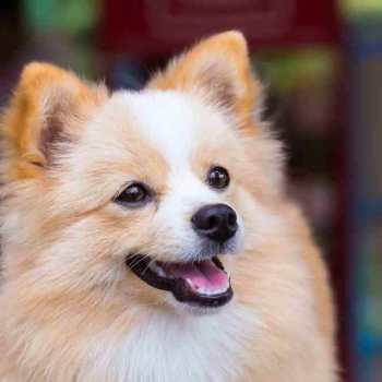 Chihuahua And Pomeranian Mix