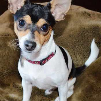 Chihuahua And Rat Terrier Mix