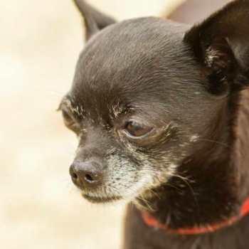 Chihuahua Arthritis