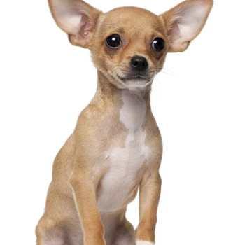 Chihuahua As Pet