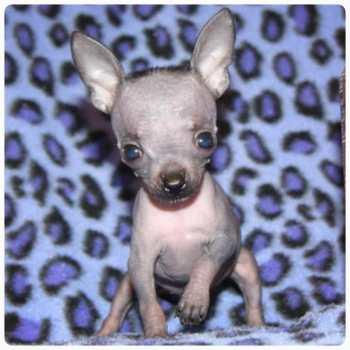 Chihuahua Austin