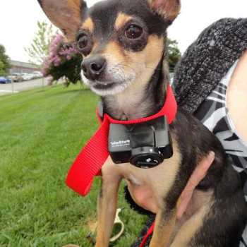 Chihuahua Bark Collar