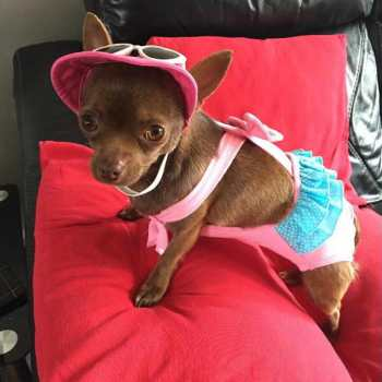 Chihuahua Bathing Suits