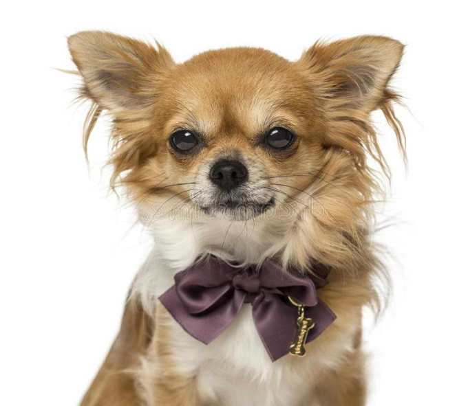 Chihuahua Bow Tie