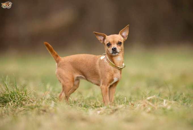 Chihuahua Breed