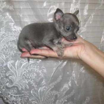 Chihuahua Breeder Nc
