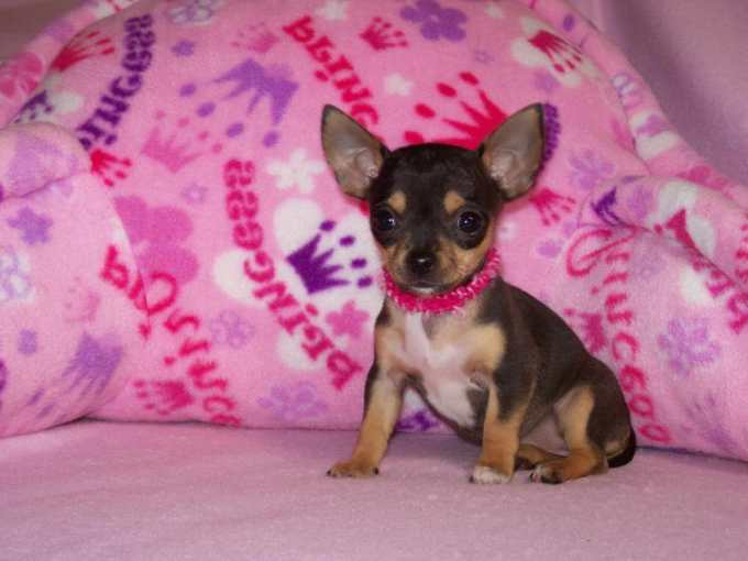 Chihuahua Breeder Texas