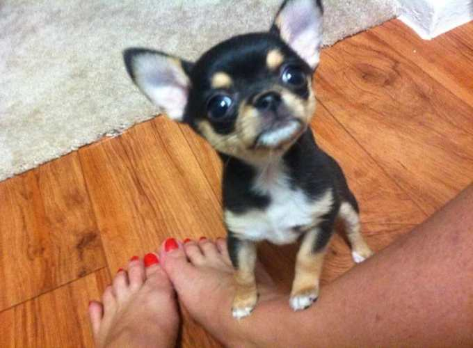 Chihuahua Breeders Houston