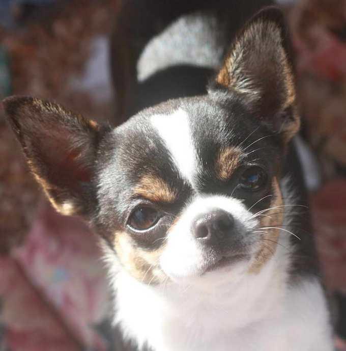 Chihuahua Breeders In California