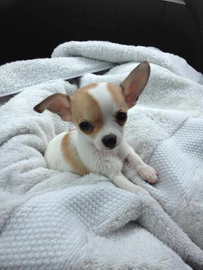 Chihuahua Breeders In Washington State