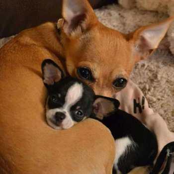 Chihuahua Breeders Ma