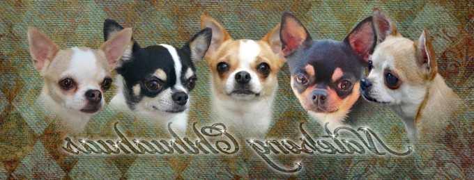 Chihuahua Breeders Md