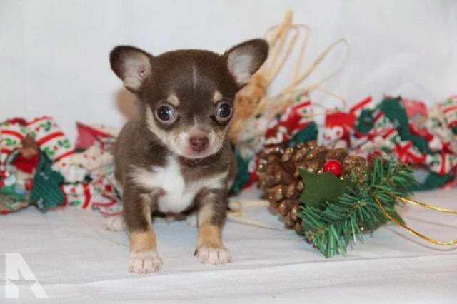 Chihuahua Breeders Mi