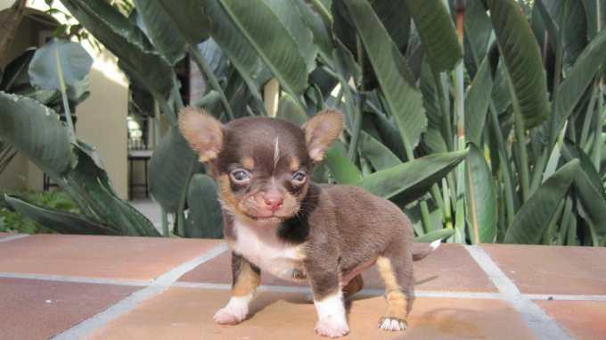 Chihuahua Breeders Ny