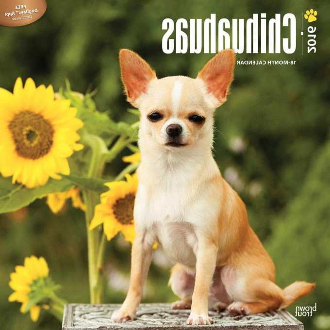 Chihuahua Calendar 2016