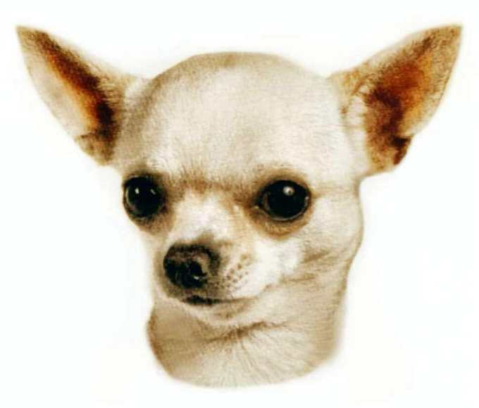 Chihuahua Care Facts