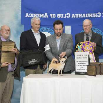Chihuahua Club Of America